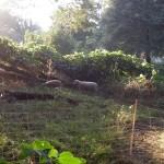Sheep at Enota Park