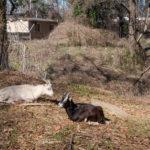 Enota Park Goats